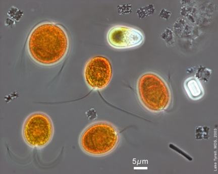 Microscopic image from a natural hypersaline brine (salinity > 200 g l−1). Based on distinctive morphologies the following can be identified: the eukaryotic green alga Dunaliella salina living alongside the haloarchaeon Haloquadratum walsbyi (flat square with gas vesicles; numerous cells are dividing like a sheet of postage stamps). A rod-shaped microbe can also be seen, © Mike Dyall-Smith. (For more details see: McGenity TJ & Oren A (2012) Hypersaline environments. In Life at Extremes: Environments, Organisms and Strategies for Survival. EM Bell (ed.) CAB International, UK. pp. 402-437)